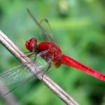RedDragonfly_575px